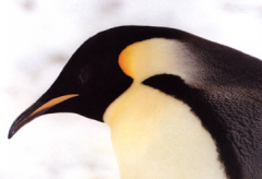 The face of an emperor penguin. Black and white with a little orange blush.