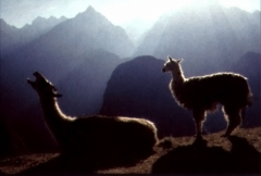 Two llamas greet the sunrise in the Andes Mountains.