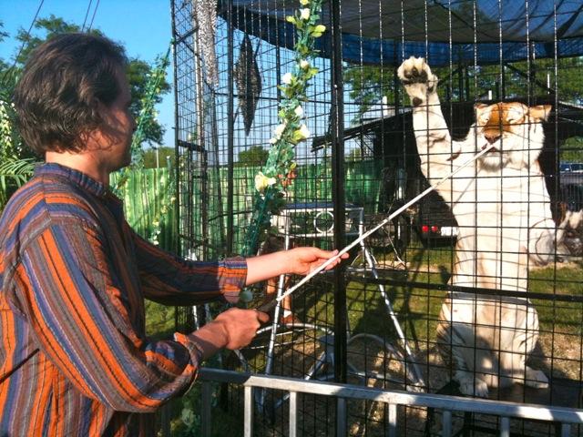 Scott feeding a Bengal tiger