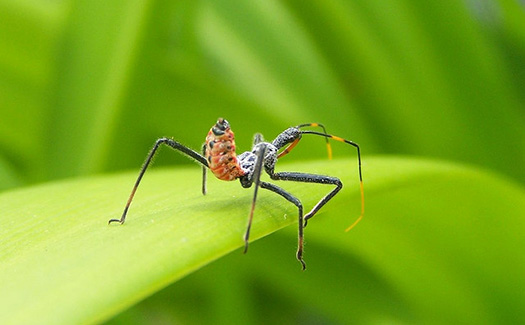 Wheel bug or assassin bug on a leaf