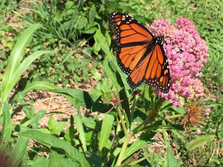 Male Monarch Butterfly and Milkweed