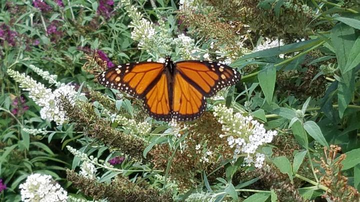 Male monarch butterfly on a butterfly bush