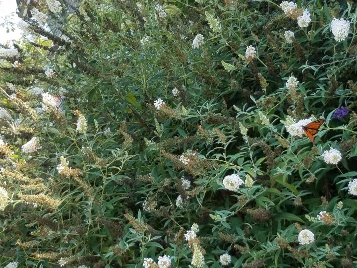Two monarch butterflies on a butterfly bush