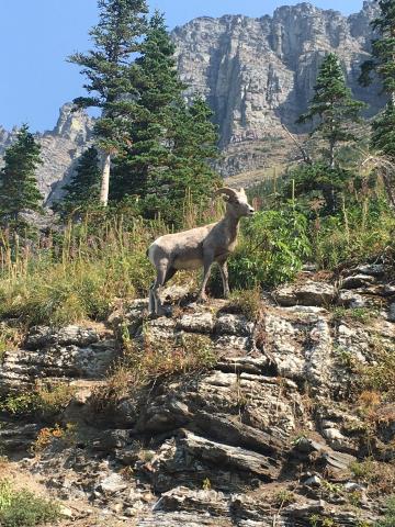 Ram on the Highline Trail, Glacier National Park
