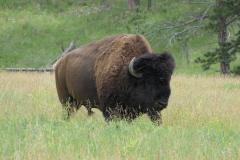 Male Buffalo. Custer State Park, South Dakota