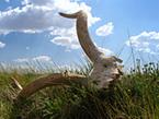 Impala skull.