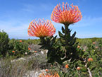 Fynbos flowers a plant kingdom (1 of 7) endemic only in South Africa.