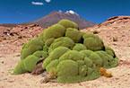Moss and volcano, Bolivian Alto Plano