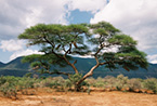 Picturesque acacia tree