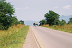 Wild bull African elephant.